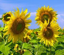 Free Sunflower Stock Photos - 4840593