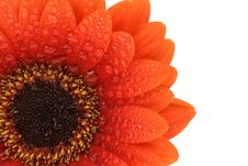 Free Isolated Gerbera Flower Stock Photos - 4840703