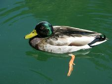 Free Malard Duck Royalty Free Stock Images - 4841209