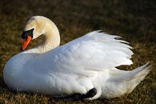 Free Mute Swan (Cygnus Olor) Royalty Free Stock Photo - 4841775