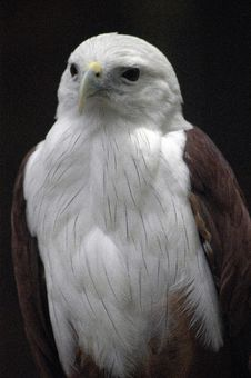 The Javanesse Eagle Royalty Free Stock Photo