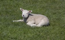 Free Little Lamb Stock Image - 4843321