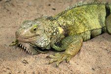 Free Iguana Royalty Free Stock Images - 4843439