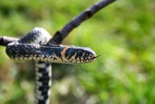 Free Snake Reptile Hanging On The Branch Royalty Free Stock Image - 4844486