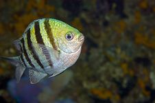 Free Stripy Fish With Copy Space Royalty Free Stock Photos - 4845198