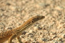 Free Curious Lizard Stock Photo - 4845450