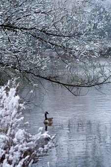 Lone Goose Swimming In Lake Stock Photos