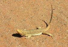 Free Lizard Basking Stock Images - 4845934