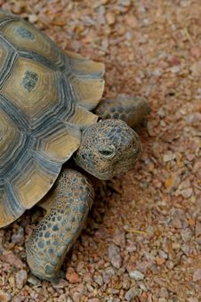 Free Desert Tortoise 2 Royalty Free Stock Images - 4846199