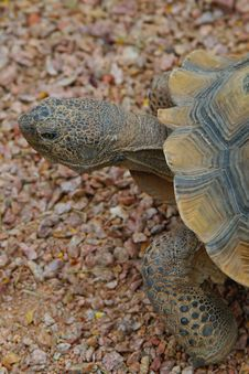 Free Desert Tortoise 1 Stock Photos - 4846203