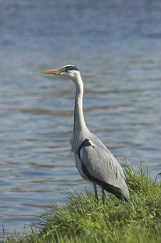 Free Grey Heron Royalty Free Stock Photography - 4846237