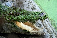 Free Green Crocodile Stock Photography - 4846742