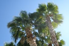 Free Palm Trees In Phoenix Royalty Free Stock Images - 4847219