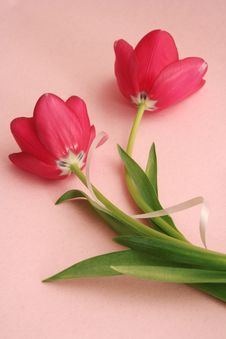 Free Two Red Tulips  On A Pink Background Stock Photos - 4847953