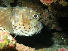 Free Porcupinefish Stock Photos - 4849003