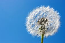 Free Dandelion Royalty Free Stock Photography - 4849067