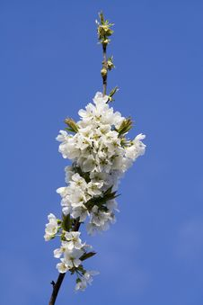 Free Blooming Cherry Tree Branch Royalty Free Stock Photo - 4849425