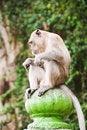 Free Sitting Monkey Royalty Free Stock Photos - 4857388