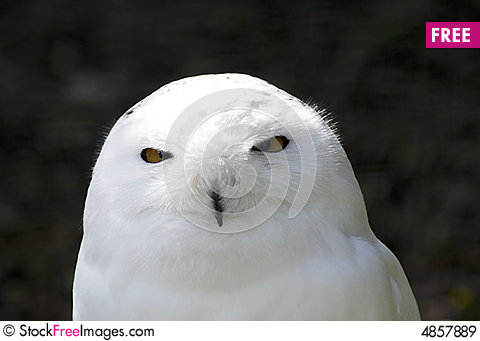Free Snowy White Owl Royalty Free Stock Images - 4857889