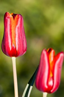 Free Red Tulip Royalty Free Stock Photos - 4850738