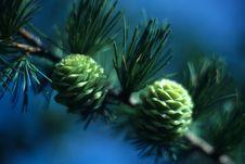 Free Pine Nuts Growing Stock Photos - 4850823