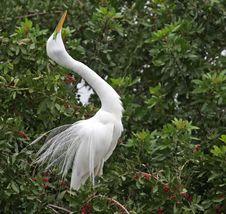 Free Great Egret Stock Photography - 4851472