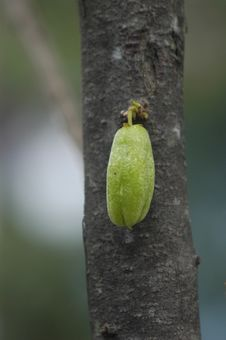 Free A Green Fruit On The Tree Stock Photography - 4851602