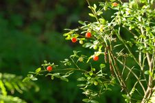 Free Forest Berries Royalty Free Stock Photos - 4851768