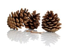 Free Pine Cones Deflection Royalty Free Stock Image - 4853116