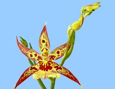Free Orchid Illustration: Encyclia Stock Photos - 4853143