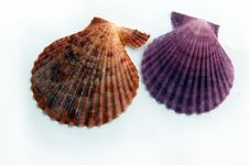 Free Colored Shells Royalty Free Stock Images - 4853329