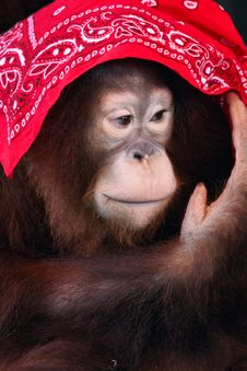 Free A Shy Female Orangutan Royalty Free Stock Photo - 4853915