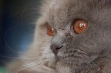 Free British Cat Face Royalty Free Stock Photography - 4853957