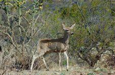 Free Mule Deer Stock Image - 4856121
