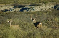 Free Mule Deer Royalty Free Stock Photos - 4856378