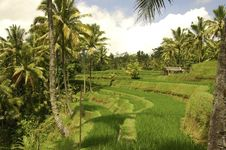 Free Rice Terrace Of Bali Indonesia Stock Photography - 4856562