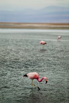 Free Flamingos In Shallow Water Stock Photography - 4857052