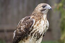 Free Red Tail Hawk 1 Stock Images - 4857884
