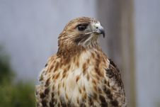 Free Red Tail Hawk 2 Royalty Free Stock Photo - 4857935