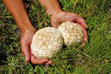 Free Two Mushrooms In The Hands Stock Images - 4859054