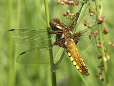 Free Dragonfly 01 Royalty Free Stock Photography - 4859887