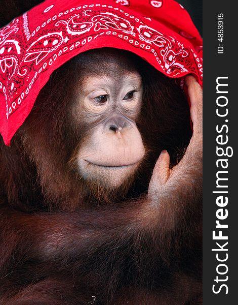 A Shy Female Orangutan