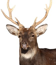Free Deer At White Royalty Free Stock Photography - 48522617
