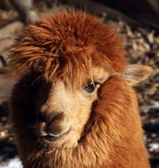 Free Alpacas Stock Photo - 48535680