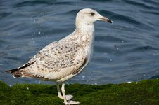 Free Seagulls On A Mossy Rock Royalty Free Stock Photography - 48596377