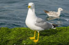 Yellow-legged Gull &x28;Larus Cachinnans&x29; Royalty Free Stock Photo