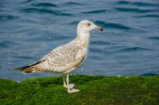 Free Seagulls On A Mossy Rock Royalty Free Stock Photo - 48597005