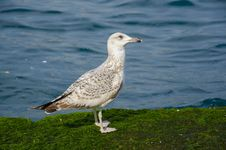 Free Seagulls On A Mossy Rock Stock Photos - 48597123