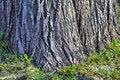 Free Thick Tree Bole Royalty Free Stock Photo - 4860405