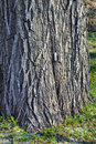 Free Thick Tree Bole Royalty Free Stock Photos - 4860438